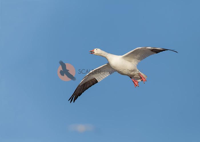 Snow goose in flight against blue sky