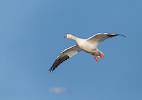 Snow goose in flight against blue sky