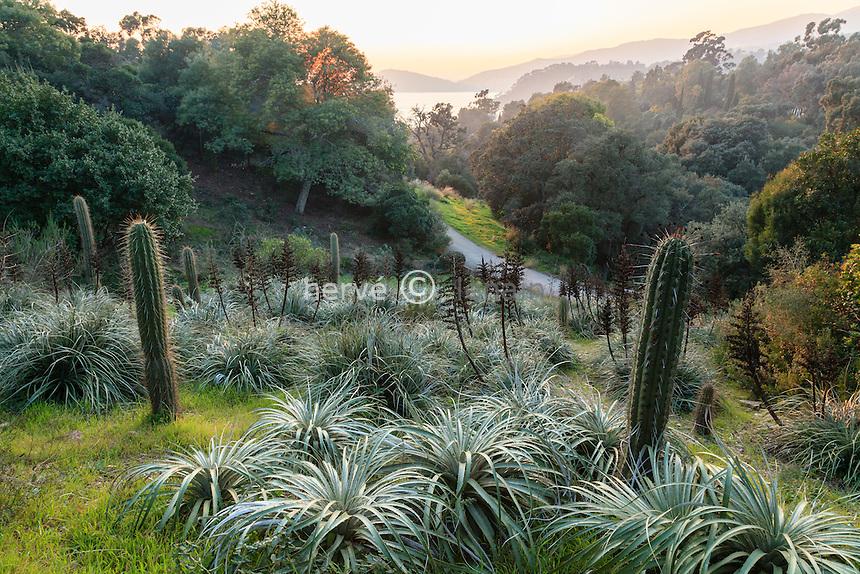 Le domaine du Rayol en février : le jardin chilien avec des puyas (Puya berteroniana & Puya alpestris) et cactées quisco (Echinopsis chiloensis).<br /> <br /> (mention obligatoire du nom du jardin & pas d'usage publicitaire sans autorisation préalable)