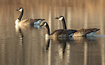 Canada geese on a northern Wisconsin lake.
