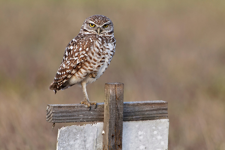 Burrowing Owl - Athene cunicularis