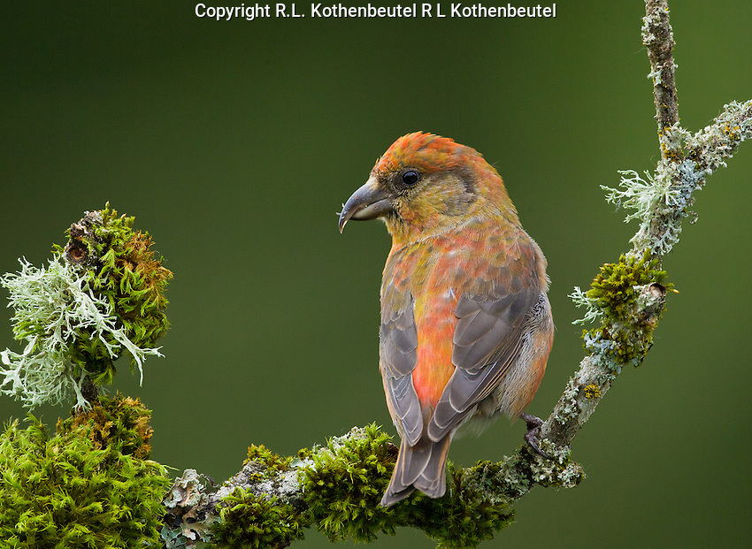 Red crossbill male perched on a moss and lichen covered branch.<br />