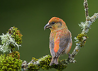 Red crossbill male perched on a moss and lichen covered branch.<br /> Woodinville, Washington<br /> 6/3/2012