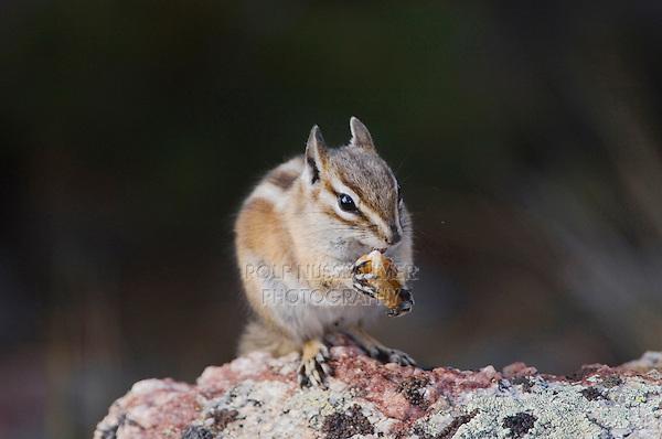 Uinta Chipmunk, Tamias umbrinus, adult, Rocky Mountain National Park, Colorado, USA, September 2006
