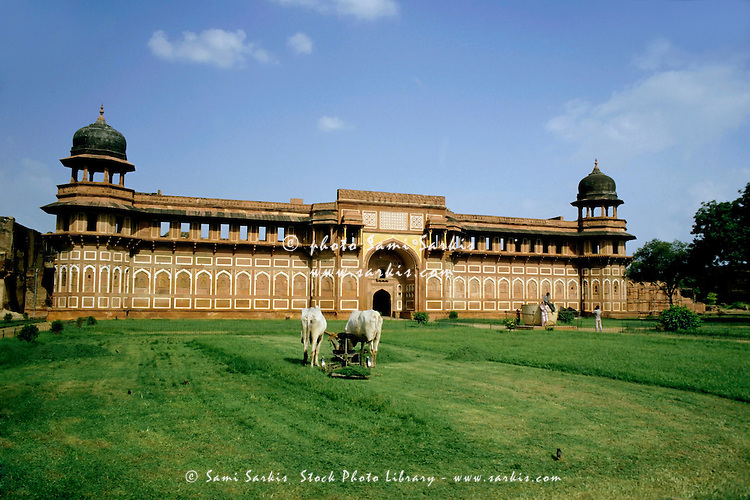 Cows mowing grass with a lawnmower in the grounds of the Agra Fort, Agra, India.