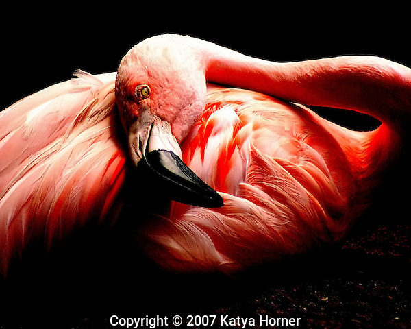 Pink Flamingo Portrait.