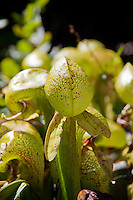 A Darlingtonia californica, also known as cobra lily, displaying its hood and fangs, a scented  appendage that helps attract the plant's insect prey.