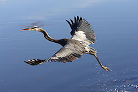 Great Blue Heron.  Ardea herodias