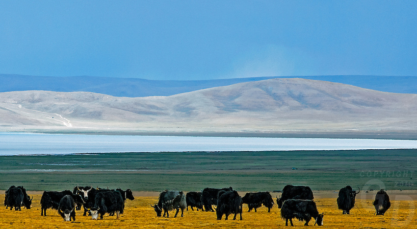 Grazing Yaks near Lake Namtso in Tibet and the highest saltwater lake in the world located at 4800 meter. <br />