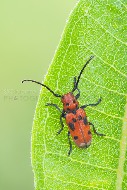 A Red Milkweed Beetle (Tetraopes tetrophthalmus) perches on a Common Milkweed plant leaf.