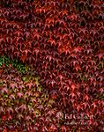 Boston Ivy, Parthenocissus tricuspidata, Veitchii, Mill Valley, Marin County, California