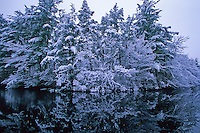 Snow covered Pine Forest.  Pine Barrens, New Jersey