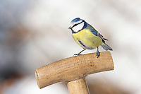 Blaumeise, Blau-Meise, Meise im Winter auf bei Schnee, Parus caeruleus, Cyanistes caeruleus, blue tit, La Mésange bleue