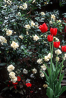 Gardenia jasminoides aka G. veitchii and Tulipa 'Apeldoorn' red spring tulip bulbs