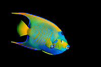 queen angelfish, Holacanthus ciliaris, Stetson Bank Habitat Area of Particular Concern, Texas, USA, Gulf of Mexico, Atlantic Ocean