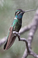 Magnificent Hummingbird - Eugenes fulgens - male