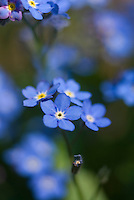 Myosotis scorpioides (Forget-me-not) showing several closeup small blue flowers in forefront against blurred background