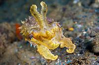 cuttlefish, Sepia sp., Ambon Island, Maluku Islands, The Moluccas, Indonesia, Banda Sea, Pacific Ocean