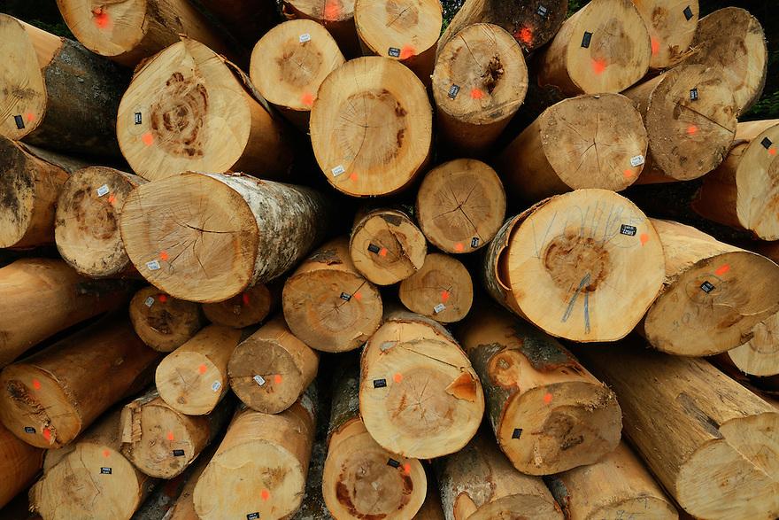 Beech tree, Fagus silvatica, tree trunks logged inside the forest, North Velebit National Park,  Velebit Nature Park, Rewilding Europe rewilding area, Velebit  mountains, Croatia
