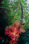 Dendronephthya in mangrove