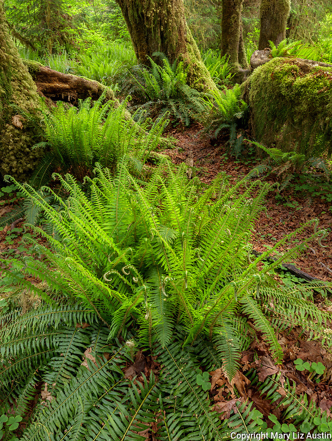 Olympic National Park, WA: Sword ferns (Polystichum munitum) in forest understory of the Hoh rainforest.