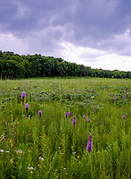 Spikes of purple dot the foreground prairie space while store clouds come in over the savanna forest edge, Nachusa Grasslands Nature Conservancy, Lee & Ogle Counties, Illinois