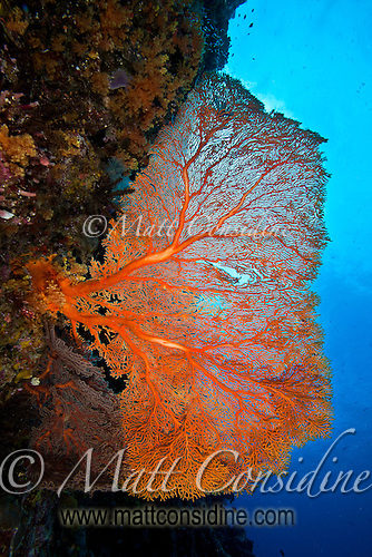 Fabulous but very delicate fan coral on wall. (Photo by Matt Considine - Images of Asia Collection) (Matt Considine)