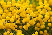 Le Domaine du Rayol:<br /> mimosa = Acacia sp.