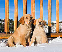 Golden retriever puppies on deck of mountain lodge with snow, wooden railings and blue sky in background