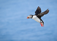 Atlantic Puffin in flight against blue sky