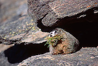 35-M02A-MY-14    YELLOW-BELLIED MARMOT (Marmota flaviventris) in autumn with grass for winter hibernation, Rocky Mountain National Park, Colorado, USA