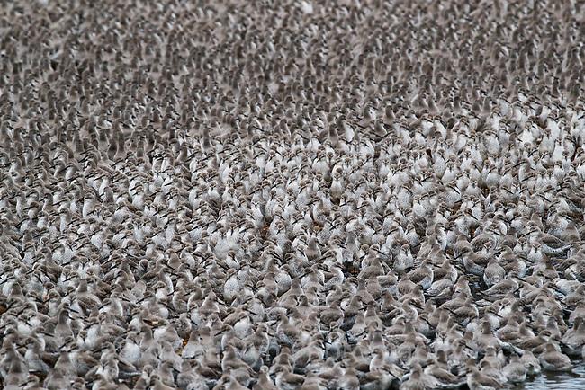 Red Knot flock. Snettisham, UK.