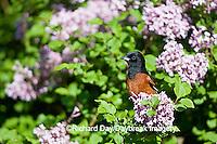 01618-010.07 Orchard Oriole (Icterus spurius) male in Lilac bush,  Marion Co. IL