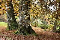 Birch Trees, Scotland