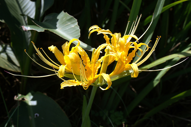 Hurricane lily is a southern name for spider lilies.