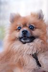 Melvin the fluffy Pomeranian, keeps a watchful eye in Madrid, Spain.