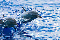 Pantropical Spotted Dolphins, Stenella attenuata, jumping out of boat wake, off Kona Coast, Big Island, Hawaii, Pacific Ocean
