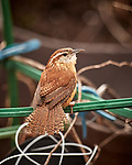 House Wren Image taken with a Nikon D5 camera and 600 mm f/4 VR lens (ISO 1400, 600 mm, f/4, 1/1250 sec).