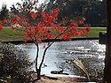 A beautiful view of a red maple, with a shimmering sunlight in the water.