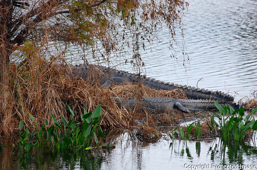 Late afternoon picture of two alligators photographed at Green Cay Wetlands, Boynton Beach, Florida.