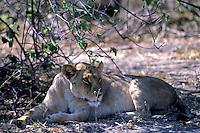 Afrikaanse leeuwin (Panthera leo)