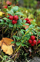 Preiselbeere, Preisel-Beere, Kronsbeere, reife Früchte, Preiselbeeren, Vaccinium vitis-idaea, Cowberry, Foxberry