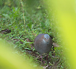 White-throated quail dove, Geotrygon frenata. Tandayapa Valley, Ecuador