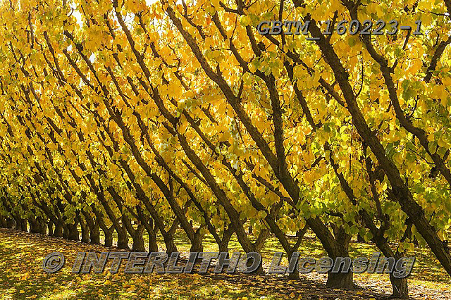 Tom Mackie, LANDSCAPES, LANDSCHAFTEN, PAISAJES, photos,+Cromwell, New Zealand, Tom Mackie, Worldwide, apricot, autumn, autumnal, beautiful, color, colorful, colour, colourful, fall,+fruit, gold, golden, holiday destination, horizontally, horizontals, orchard, pattern, patterns, restoftheworldgallery, scen+ery, scenic, season, tourist attraction, tree, trees, vacation, yellow,Cromwell, New Zealand, Tom Mackie, Worldwide, apricot,+autumn, autumnal, beautiful, color, colorful, colour, colourful, fall, fruit, gold, golden, holiday destination, horizontall+,GBTM160223-1,#l#