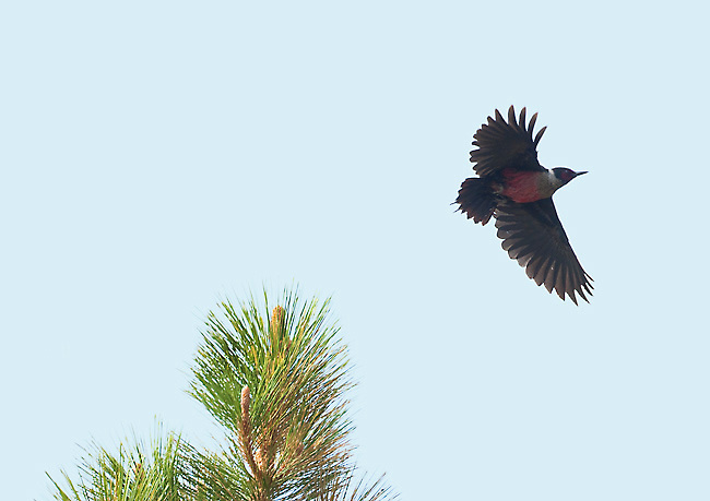 Lewis's Woodpecker (Melanerpes lewis), taking off on flycatching foray, Mono Lake Basin, California, USA. This woodpecker is specially adapted for foraging by flycatching, and looks more like a small crow than a woodpecker in flight.