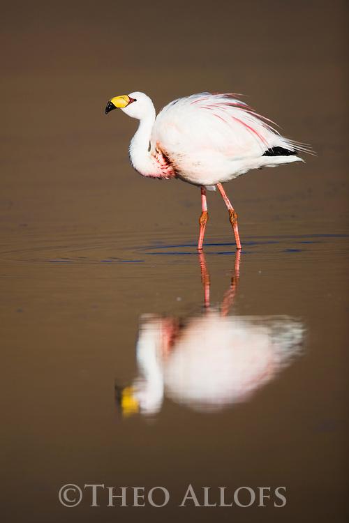 Bolivia, Altiplano, James' flamingo (Phoenicoparrus jamesi) at Laguna Canapa