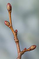 Winter-Linde, Linde, Winterlinde, Knospe, Knospen, Tilia cordata, Little Leaf Linden, Linden, bud, buds, Tilleul à petites feuilles