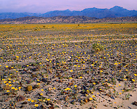 Field of Desert Sunflowers (Gerea canescens) in Mustard Canyon; Death Valley National Park, CA