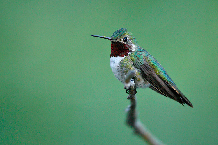 Broad-tailed hummingbird - Selasphorus platycercus - Adult male