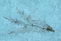 Kruisdistel (Eryngium campestre), bladskelet op ijs